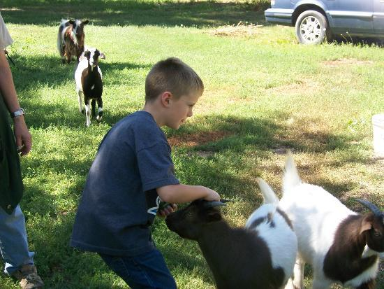 Patriot Inn: The kids loved petting the little goats.