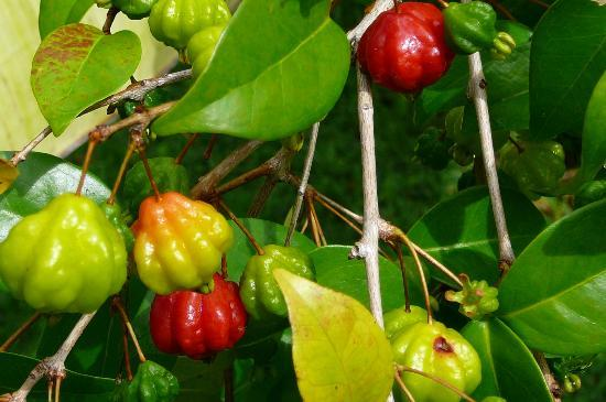 Art and Orchids: really tart cherries