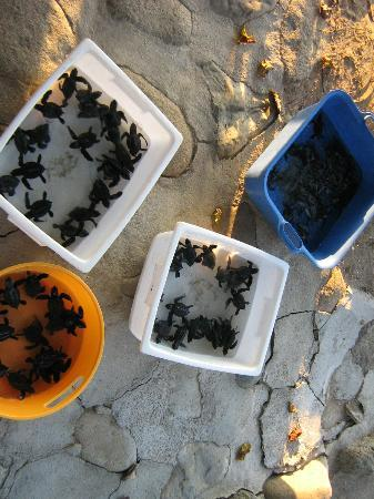 Regalo del Mar Vacation Inn: turtles to be released into the ocean