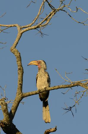 Kuname River Lodge: Yellow bill Hornbill