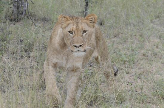 Kuname River Lodge: Lioness