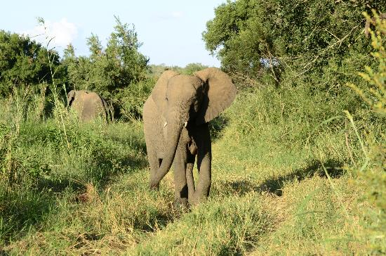 Kuname River Lodge: Elephant up close!
