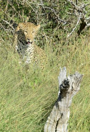 Kuname River Lodge: Our first leopard sighting
