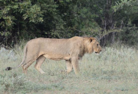 Kuname River Lodge: Lion