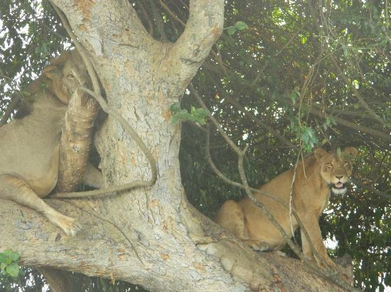 Ishasha Wilderness Camp: The fig tree nets two lions in the southern circuit