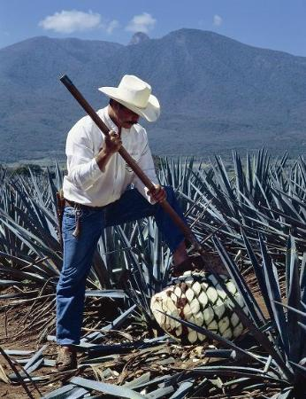 Tequila Tours: The Jimador
