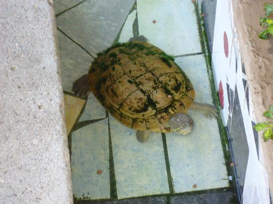Turtle Beach Towers: Turtle in front of the hotel