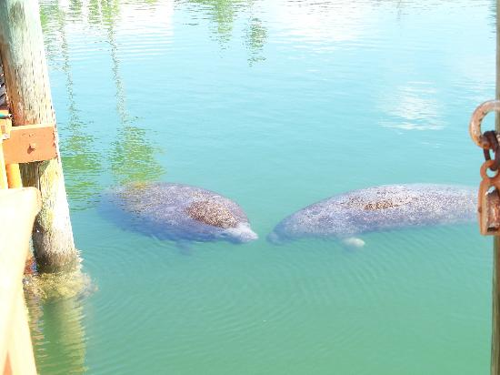 Bayview Plaza Waterfront Resort: Two Manatees in bay outside our room