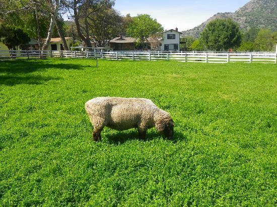 Lazy J Ranch-Americas Best Value Inn: Sheep on property