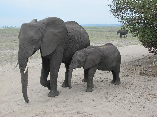 Ngoma Safari Lodge: MUM & BABY ELEPHANT - Chobe National Park
