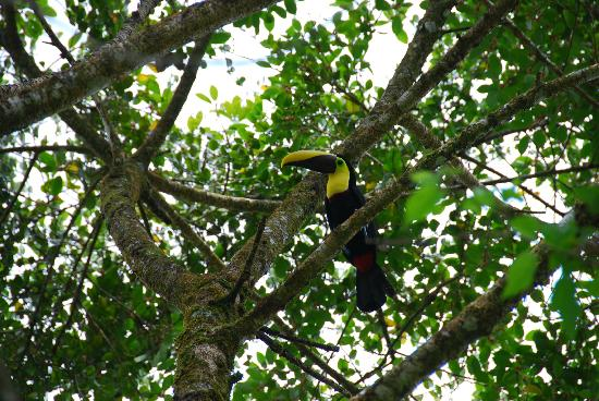 La Anita Rainforest Ranch: Ana located a toucan for us on grounds
