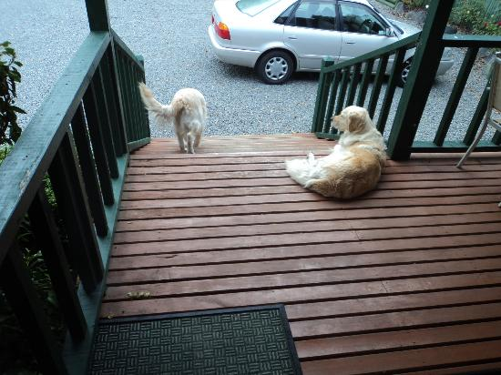 Alpine Springs Motel: Resident goldens who come to visit
