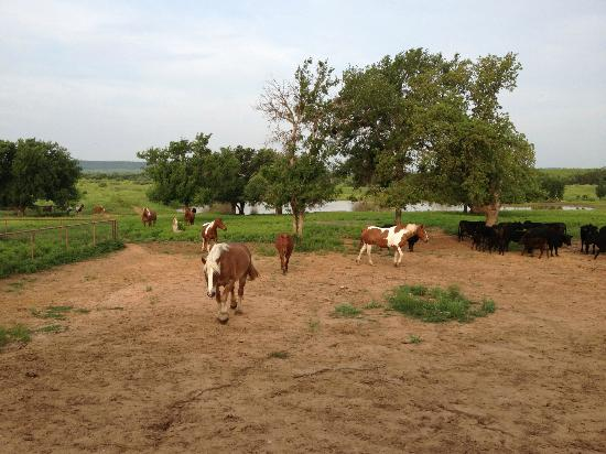 Wildcatter Ranch: Feeding the horses in the morning
