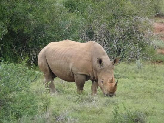 Kwandwe Great Fish River Lodge: White Rhino