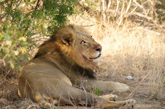 Royal Malewane: Large male lion after dining on a kudu