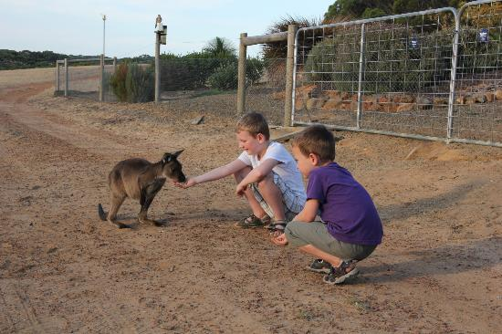 Seddon, Australien: Feeding the kangaroos