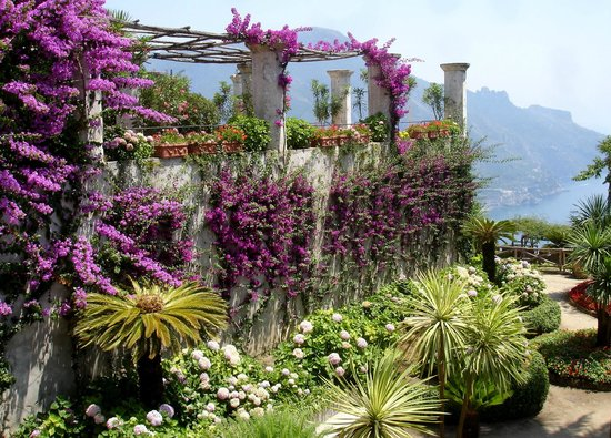 Ravello, : Bougainvillea wohin das Auge schaut