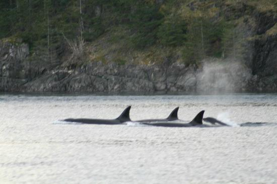 Bute Inlet Lodge: Orcas on the way home