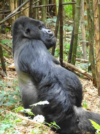 Ruhengeri, Rwanda : Guhonda, alpha silverback of Sabinyo and oldest, largest silverback in the world