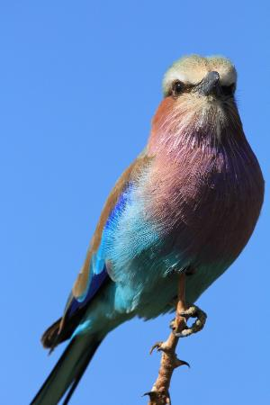 Kapama River Lodge: Lilac Breasted Roller Bird....beautiful!