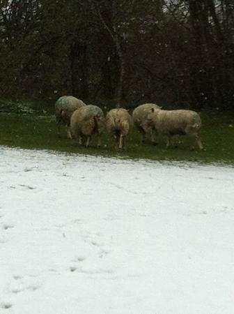 Belan Bach Lodges: Sheep