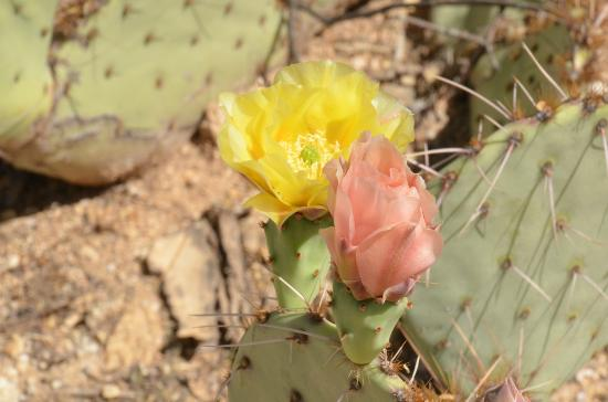 Tanque Verde Ranch: Prickly Pear Cactus in bloom