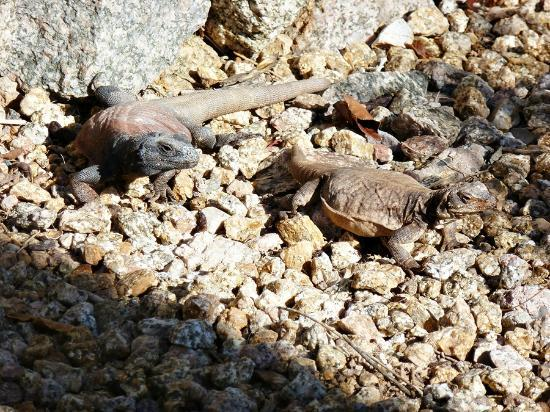 Chuckwalla on the Cactus Garden walkway Picture of The