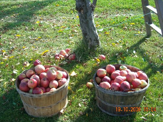 Grapeview Guesthouse on the Vineyard: Apple Harvest