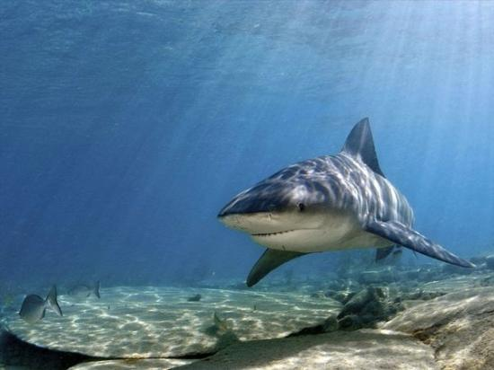 Playas del Coco, : Bull Shark