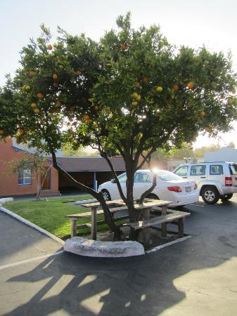 Los Padres Motel: cute lemon tree