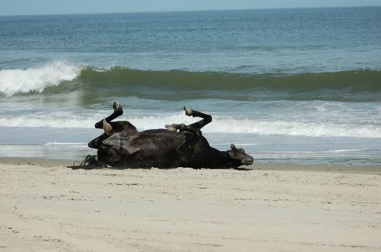 Corolla, NC: Horse enjoying a roll in the sand
