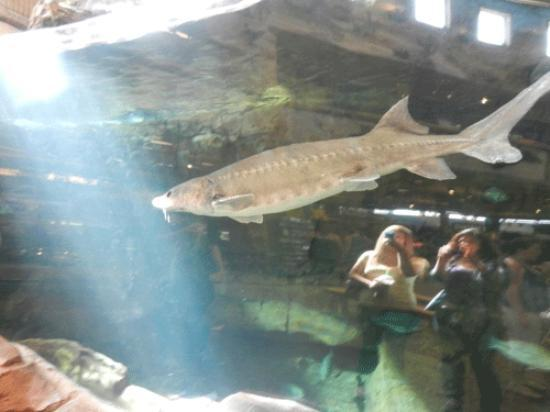 The big fish picture of bass pro shops outdoor world for Fish store las vegas