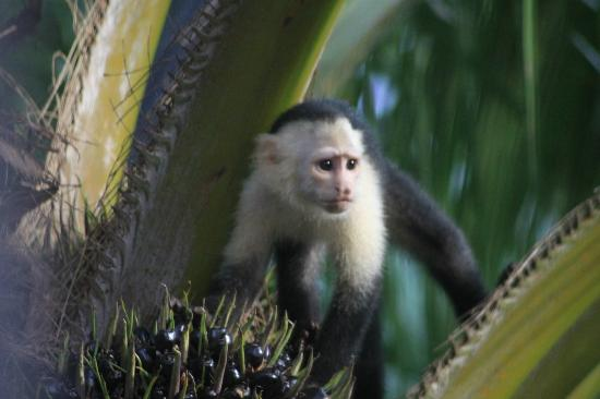 Casa Horizontes Guest House: White faced monkey viewed from the romantic room.