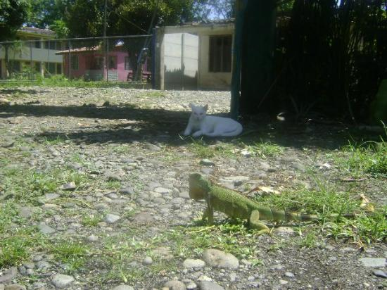 Hostel and Cabinas Secret Garden: Cat Iguana showdown in the front yard! Don't worry I helped him get away.