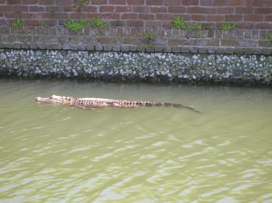 Alligator in moat for Tybee island fishing report