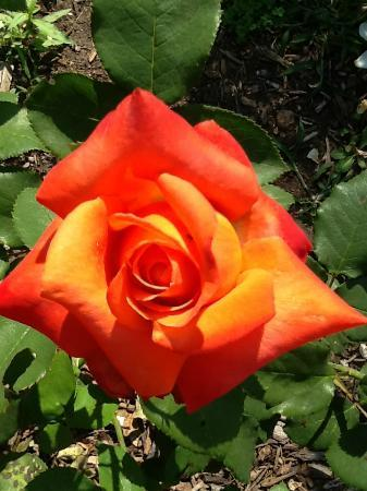 Ruddick-Nugent House: Just one of the gorgeous and bountiful roses in the garden