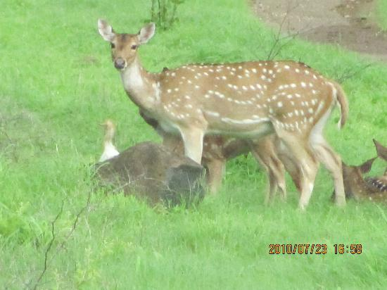 Junagadh, India: spotted deer