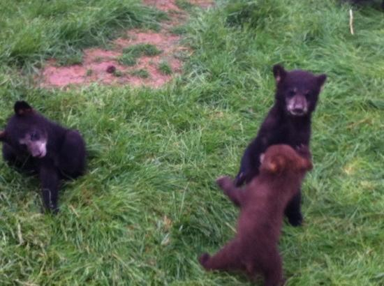 Elephant Head Lodge: baby bears