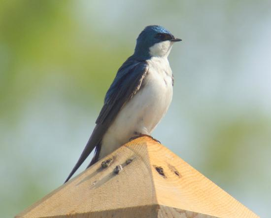 Leamington, Canada: Tree Swallow
