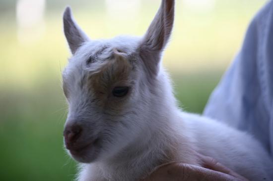 Silver Oaks Ranch: Baby goat only a few days old