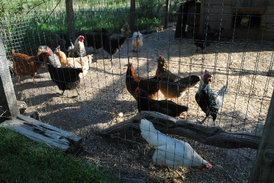 Sunset Inn: Resident chickens