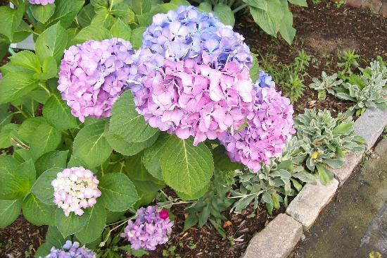 Edgewood Manor Bed and Breakfast: Hydrangea