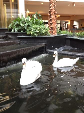 Embassy Suites Houston - Near the Galleria: Enjoy the beautiful swans in the indoor courtyard!