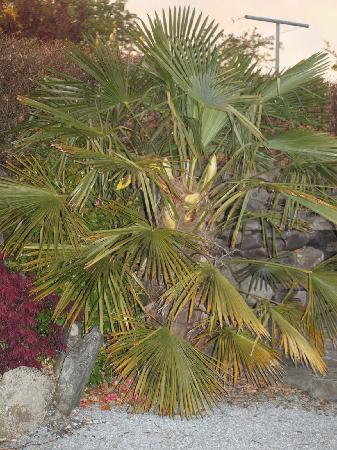 Glin, Irland: Palm tree at Barker House
