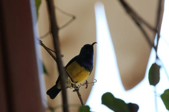 The African Tulip: male variable sunbird
