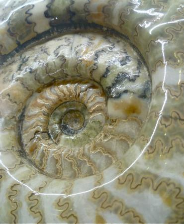 Orkney Fossil and Heritage Centre: An outstanding ammonite