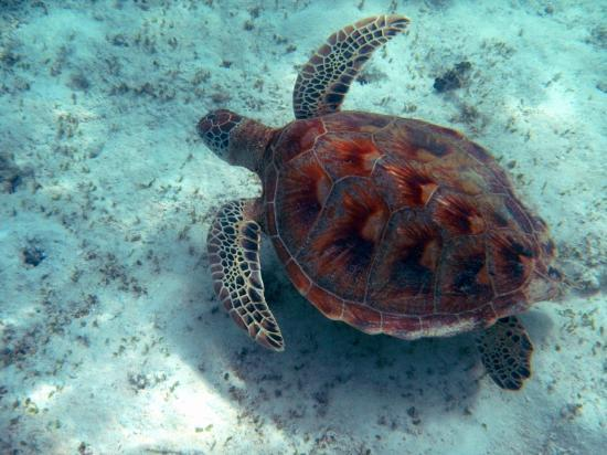 Lankayan Island Dive Resort: Lankayan Island - Swimming with turtle