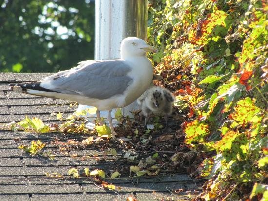 Mill Street Inn: Mama seagull and chick entertained us on the roof deck