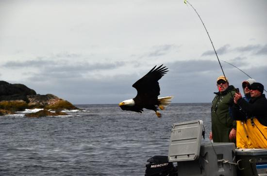 Waterfall Resort Alaska: Bald eagles fly close to boats, docks and guests to provide great photo opportunities.