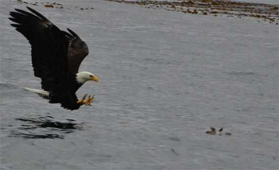 Waterfall Resort Alaska: Bald eagles love taking fish off the surface while anglers and guests watch in awe!